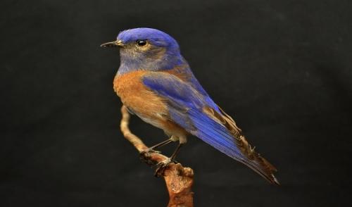 Bluebird Feeding