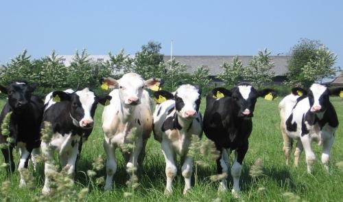 Caring for Newborn Calves