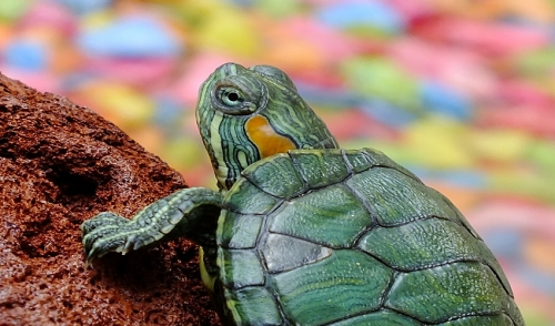 What You Should Know About Raising Turtles