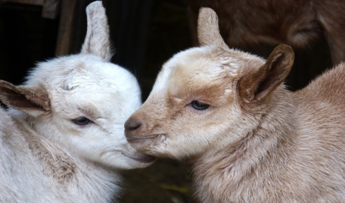 A Beginner's Guide to Raising Goats