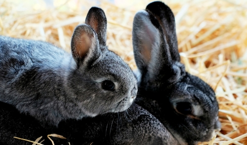 Caring for Pet Rabbits