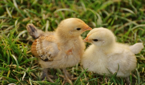 Raising Baby Chicks Can Be Easy, Even For The Inexperienced