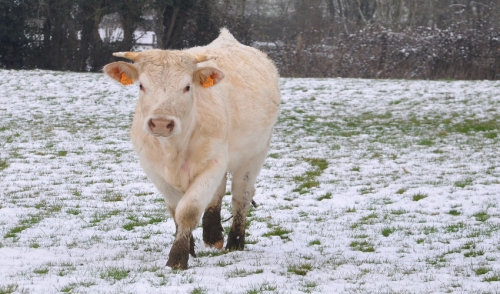 Preparing Your Cows For Winter