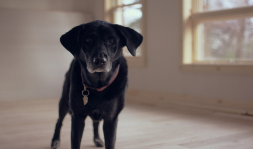 Why To Consider Adopting An Older Dog