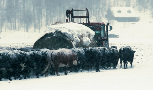 How Do Farmers Take Care of Their Cattle During Winter Storms & Cold Weather?