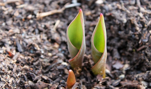Forcing Spring Blooming Bulbs in Winter