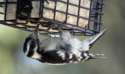 Best Practices When Feeding a Bird Suet