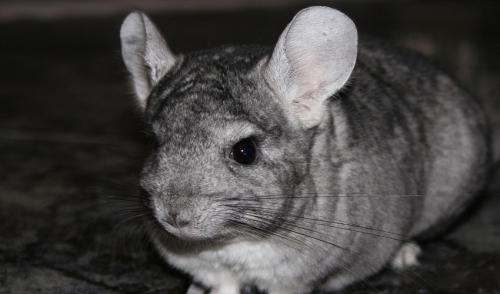 Grooming and Fur Health of Chinchillas
