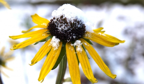 Getting Your Perennials Ready for Cold Weather