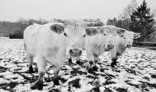 Winter Cattle Care