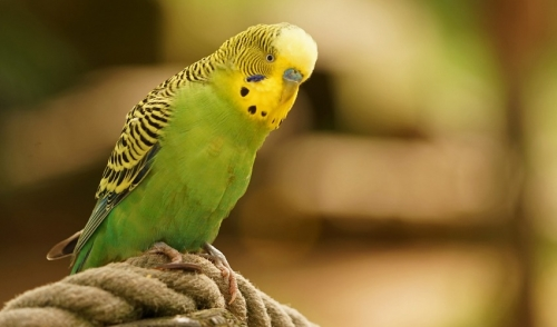 Teaching Your Parakeet To Do Tricks