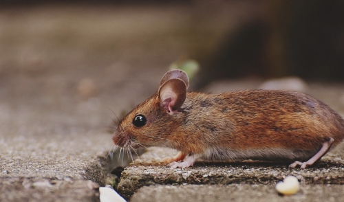 Using non-lethal means to capture mice