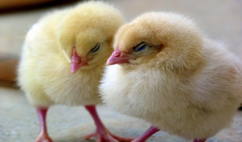 Common Chick Diseases to Look Out For