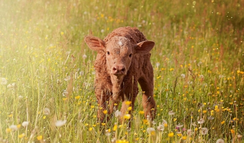 Calf scours and their treatment