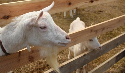 How to raise goats on your small farm lakeside feed - The most profitable orchards ...
