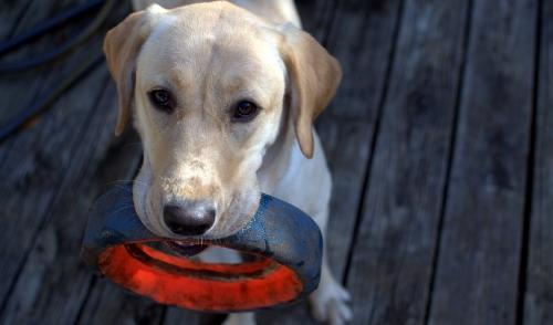 Dog Tricks: Four Steps For Teaching Your Dog To Fetch