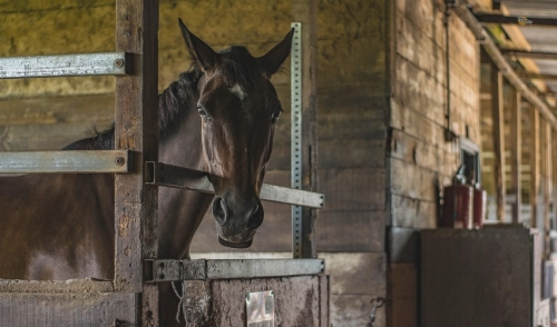 Helping to Heal a Horse's Pulled Muscle