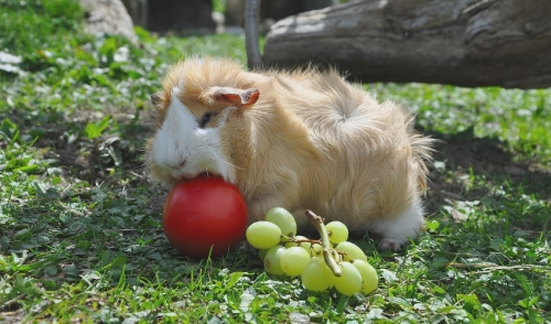 Tips For Feeding Your Guinea Pig