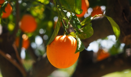 Caring for Citrus Trees