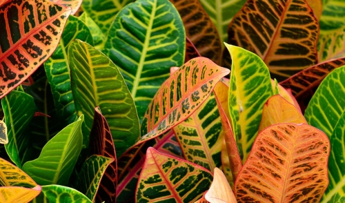 Landscaping With Crotons