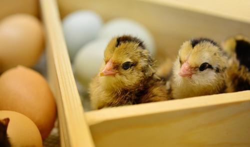 Pecking Order in Chicks
