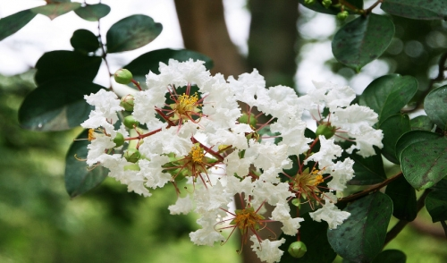 How to Care for Crape Myrtle