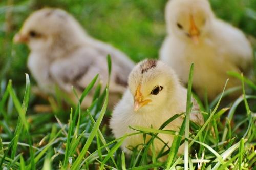 2017 Poultry Order Form