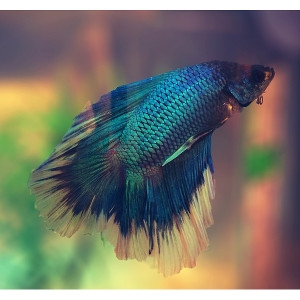 FREE Betta with Purchase of Set-Up