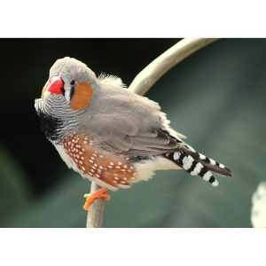 15% Off A Zebra Finch