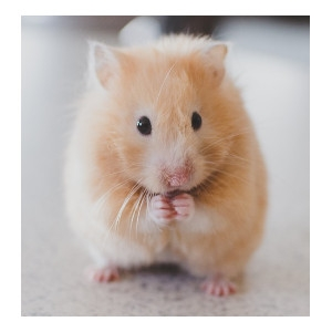 15% Off Syrian Hamster