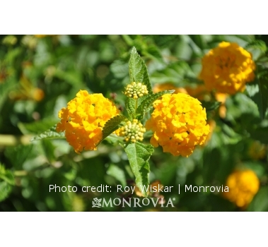 New Gold Lantanas