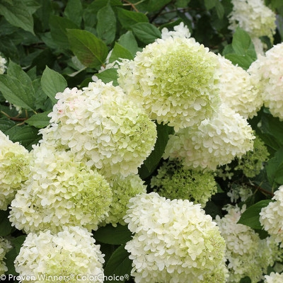 Limelight or Little Lime Hydrangeas