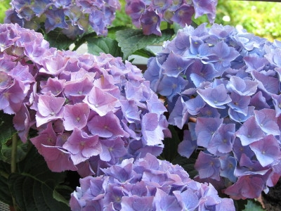Save on Hydrangeas