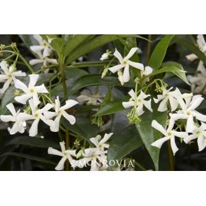 'Star Jasmine' Vine, 5 Gallon Staked
