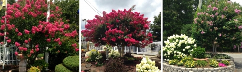 Our Crape Myrtles are absolutely beautiful!