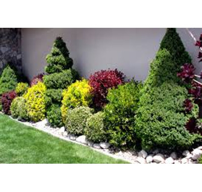 Evergreen & Flowering Shrubs