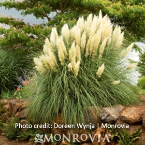 'Ivory Feathers' Dwarf Pampas Grass, 5 Gallon