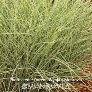 'Morning Light' Maiden Grass, 5 Gallon