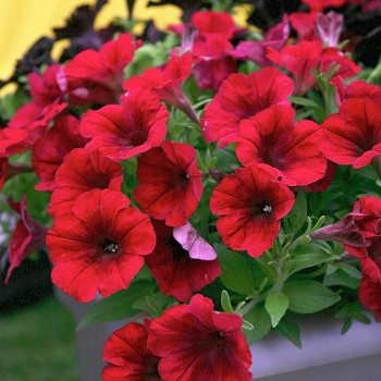 Red Blues Crazytunia