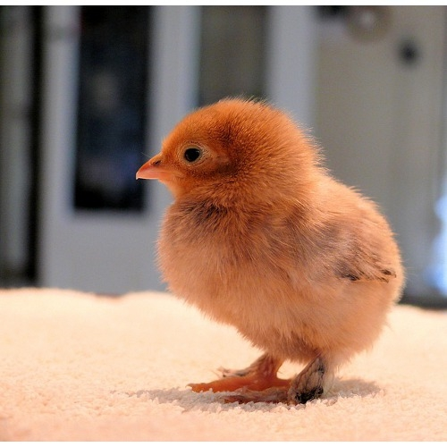 Chicks Arriving - March 24th!