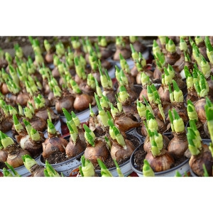 All Flower Bulbs Now B1G1 Free