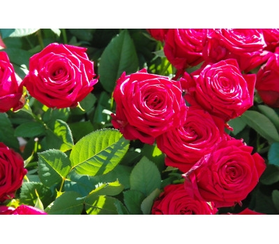 50% OFF Roses