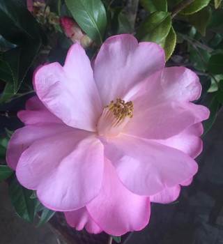 'Taylor's Perfection' Camellia
