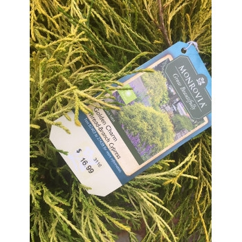 'Golden Charm' Thread-Branch Cypress