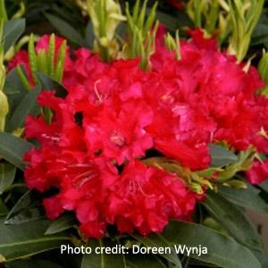 'Jean Marie De Montague' Rhododendron