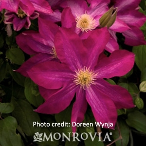 'Pink Champagne' Clematis