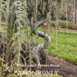 'Weeping Blue' Atlas Cedar