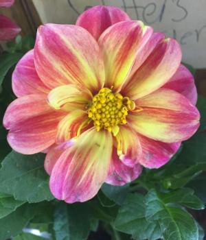 'Dalaya Shari' Dahlia Flowers