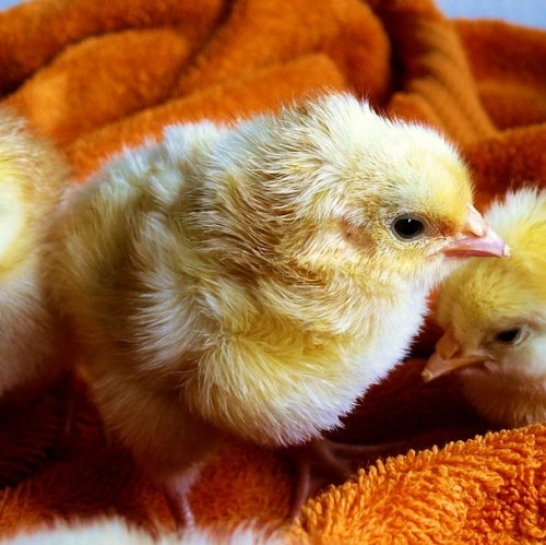 Baby Chicks Arriving! First Delivery