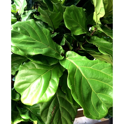 Fiddleleaf Fig Houseplant